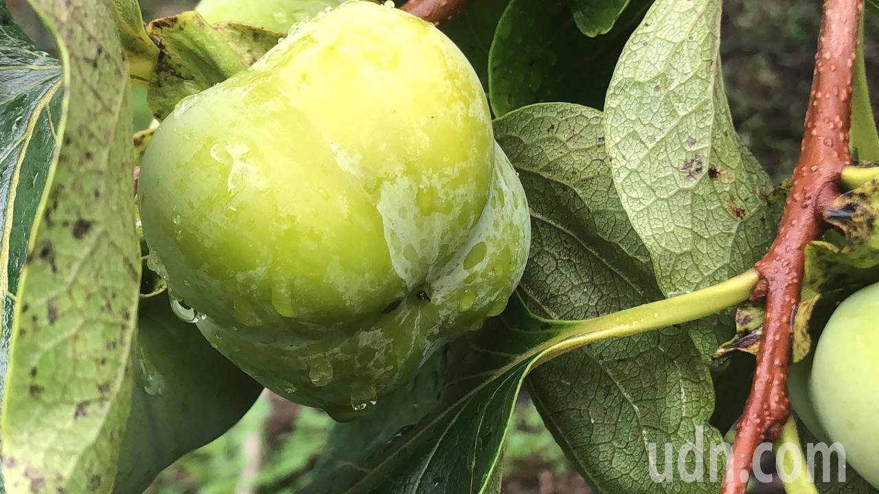 即將成熟的四周柿,果肉Q甜,是卅幾年前流行的水果。記者陳秋雲/攝影