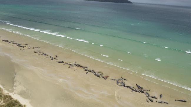 冰島西部的斯奈山半島海岸近日發現數十隻領航鯨陳屍海灘。法新社