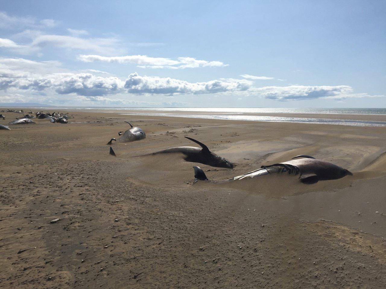 尚不清楚這些領航鯨擱淺原因。路透