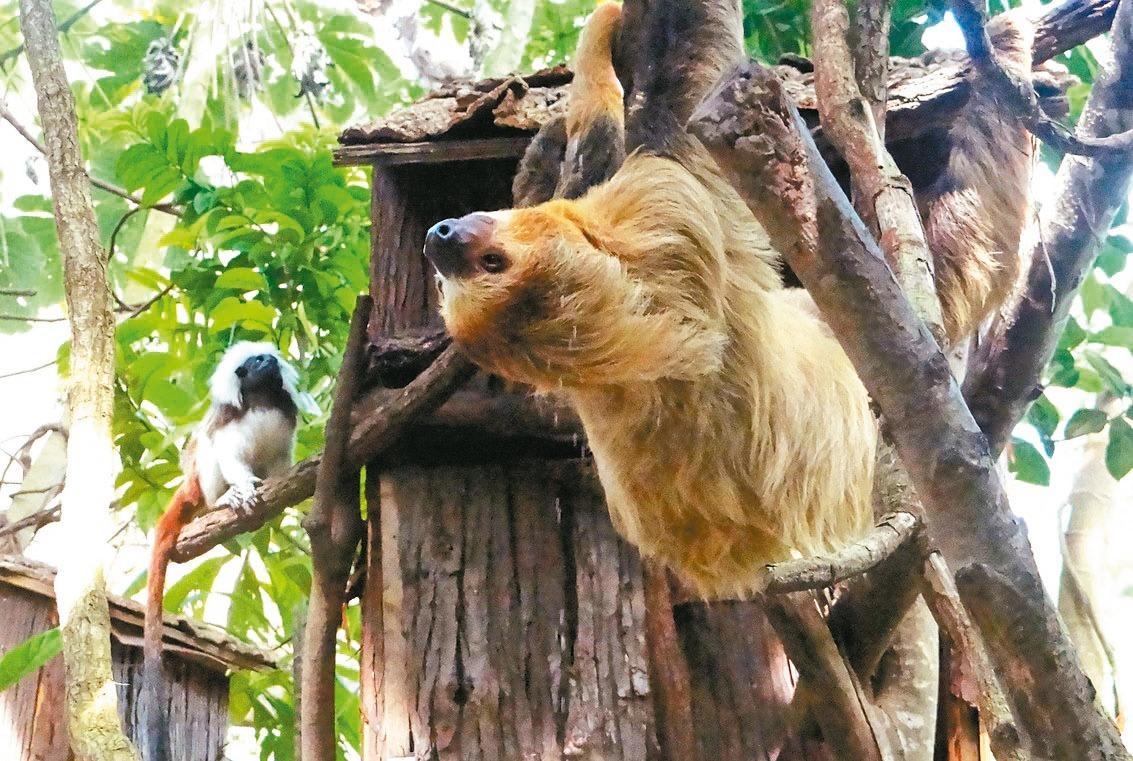 動物園穿山甲館/棉頭絹猴半夜偷食 氣壞二趾樹獺