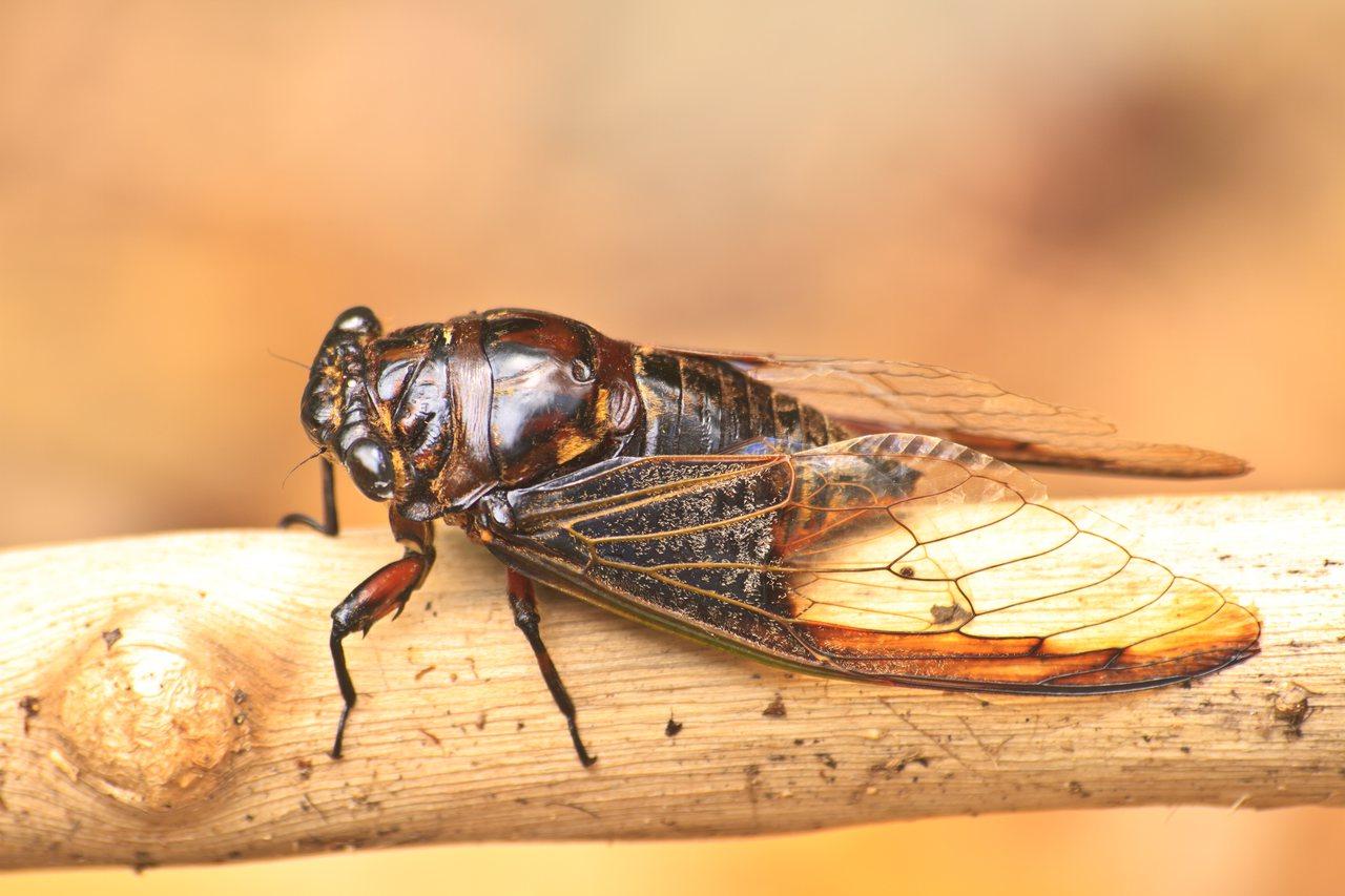 日前大陸一家三口因誤食爬滿螞蟻的「死知了」,造成嚴重的食物中毒。圖片來源/ing...