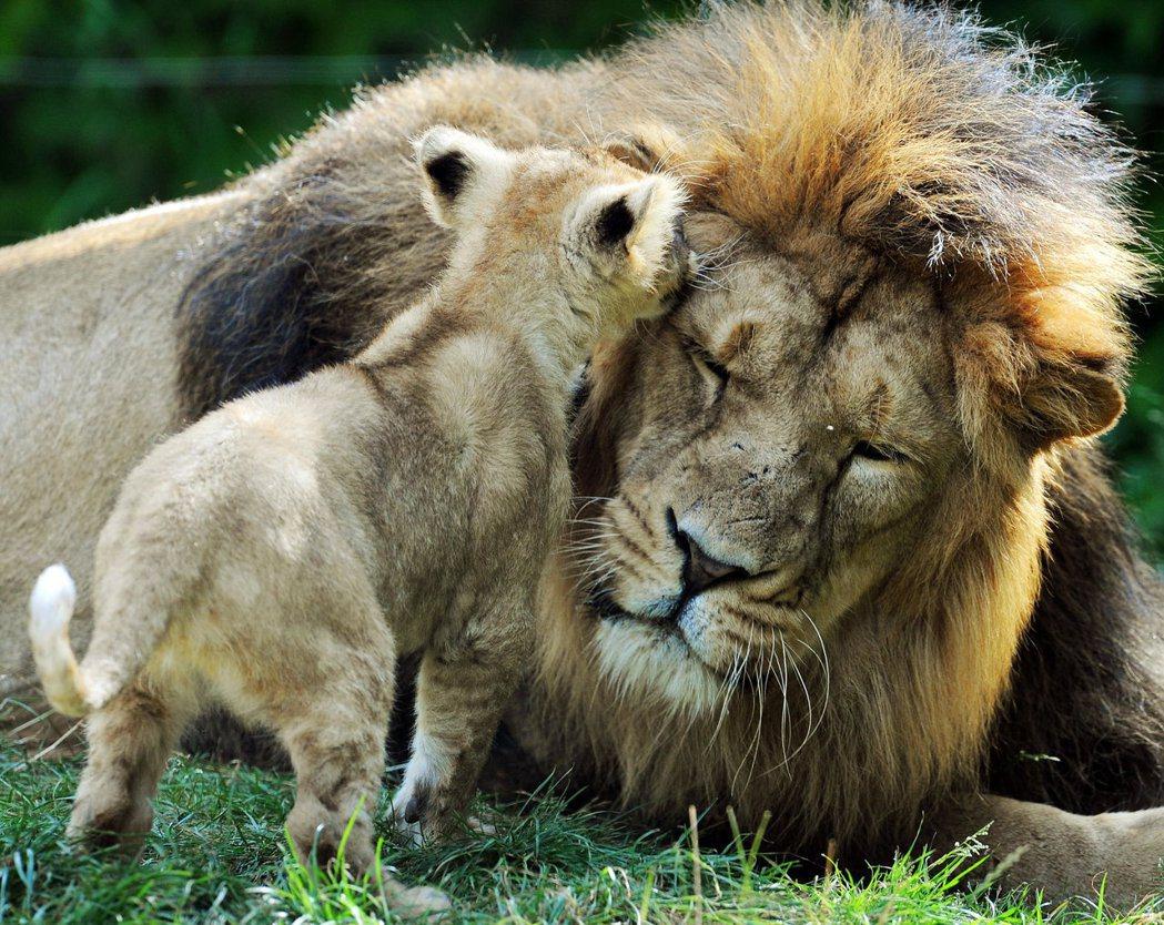 法國米盧斯動物園內的一隻幼獅找父親玩耍。 (法新社)