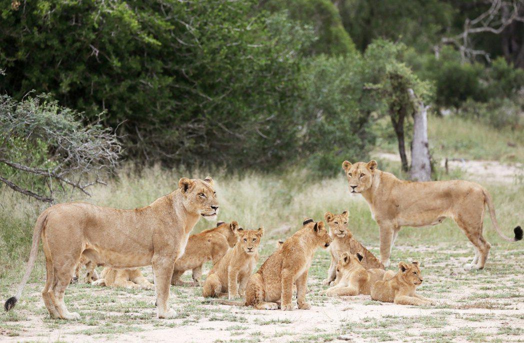 南非克魯格國家公園自然保護區內的獅群。雌獅在獅群中負責重要決策、進行大多數狩獵行...