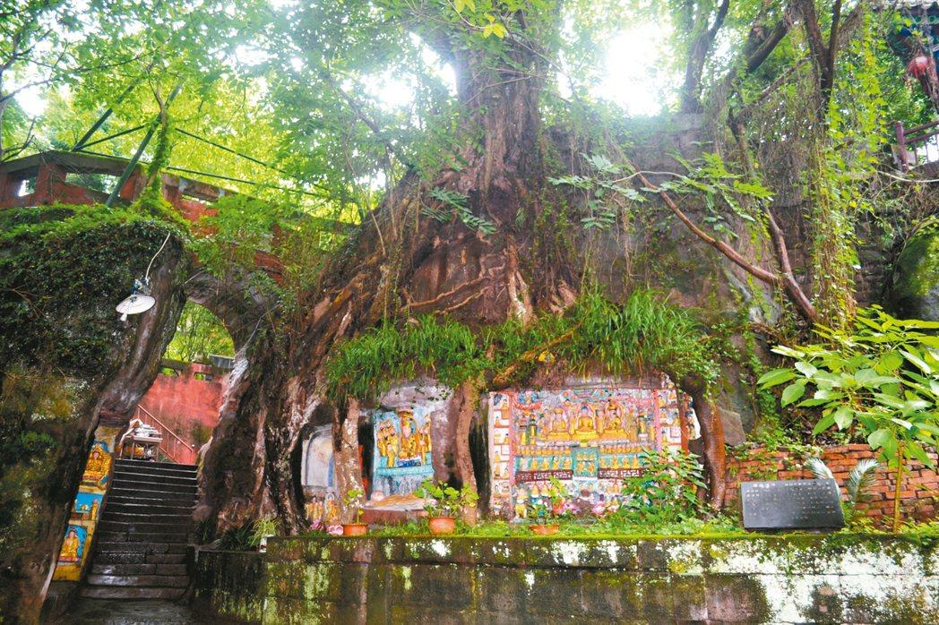報國寺內最大奇觀「千年樹抱佛」,令人驚嘆。 特派員王玉燕/攝影
