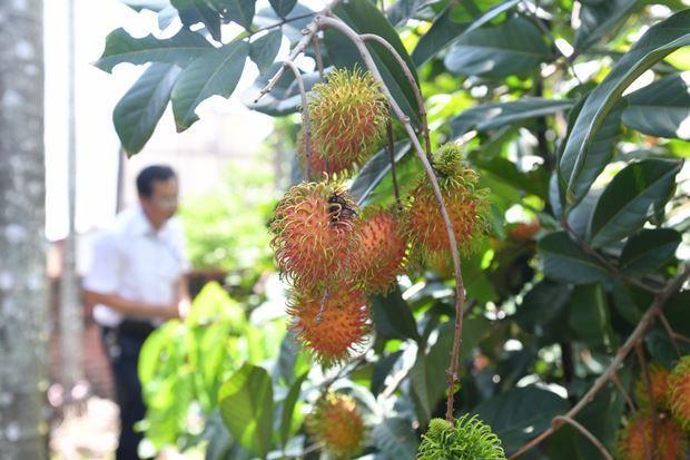 在檳榔園裡,農民轉型種植熱帶水果紅毛丹。 (劉國泰攝)