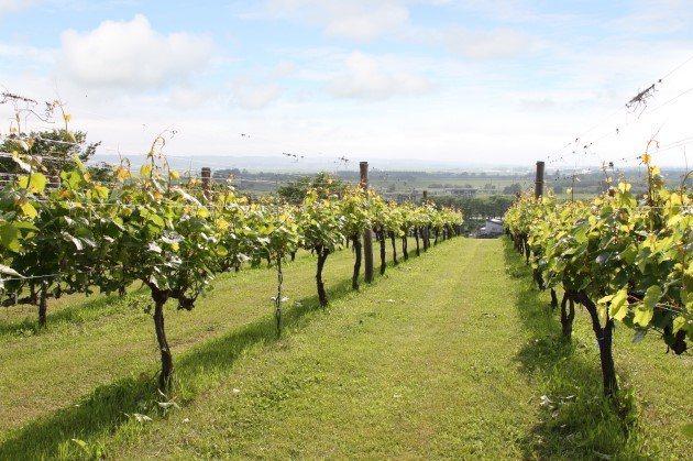全球暖化的受益者──北海道葡萄種植面積因氣候暖化大增,不但成為日本最主要葡萄酒產...