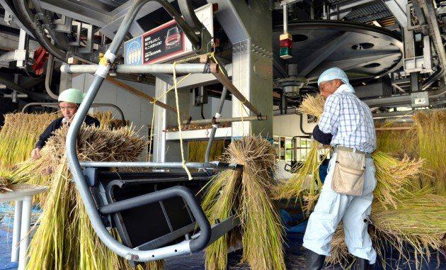 著名的新潟縣越光米正受到氣候暖化影響,稻穀出現變質的機率愈來愈高。 (Getty...
