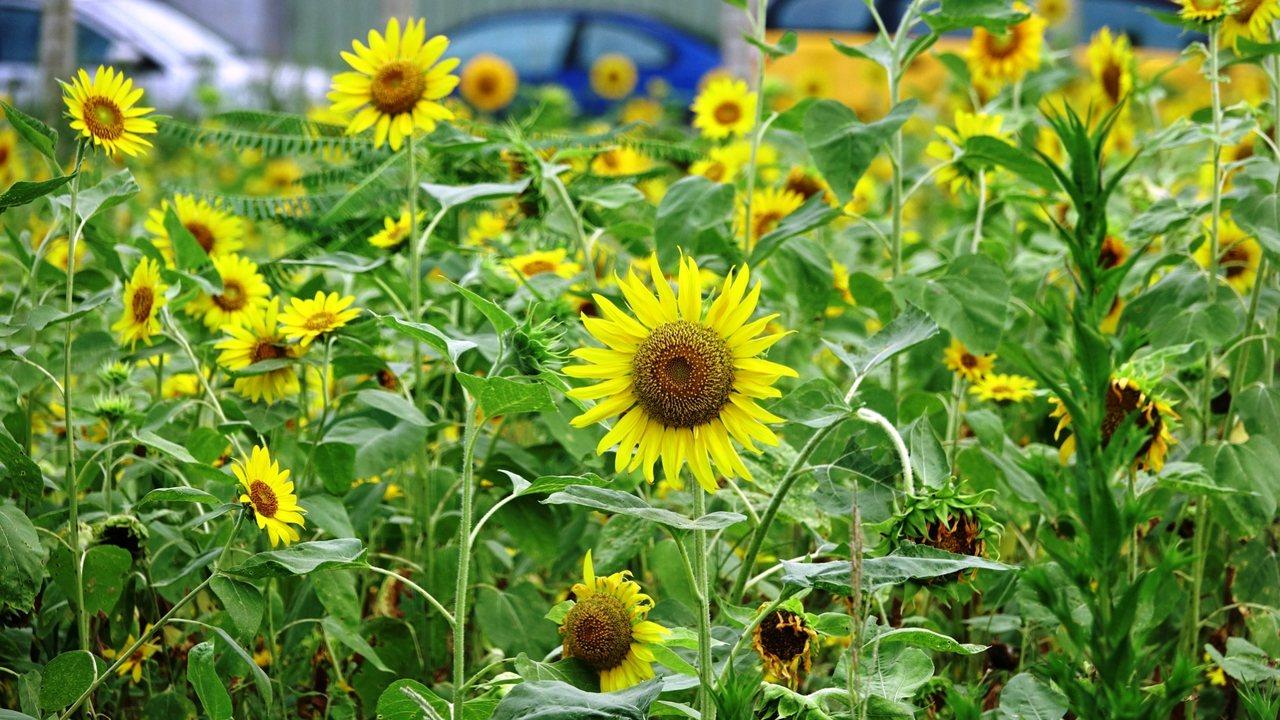 最近向日葵已經盛開,鮮豔花海綻放吸引不少人前往拍照,伴隨著陽光搖曳生姿,也成為地...