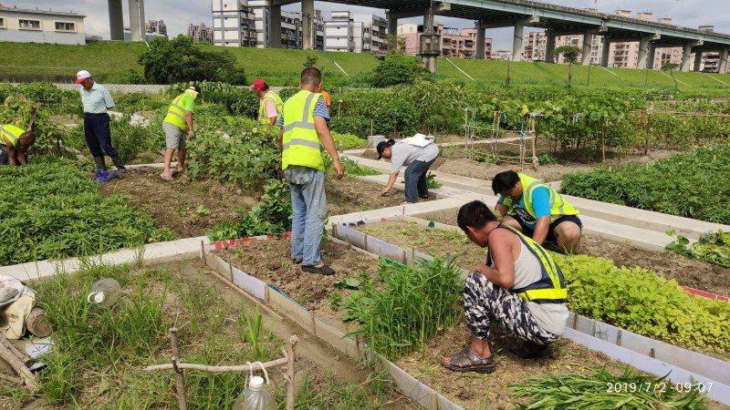 新北市二重疏洪道的樂活農園,經土壤檢驗後,確認570格農地中,有85格耕位檢測值...