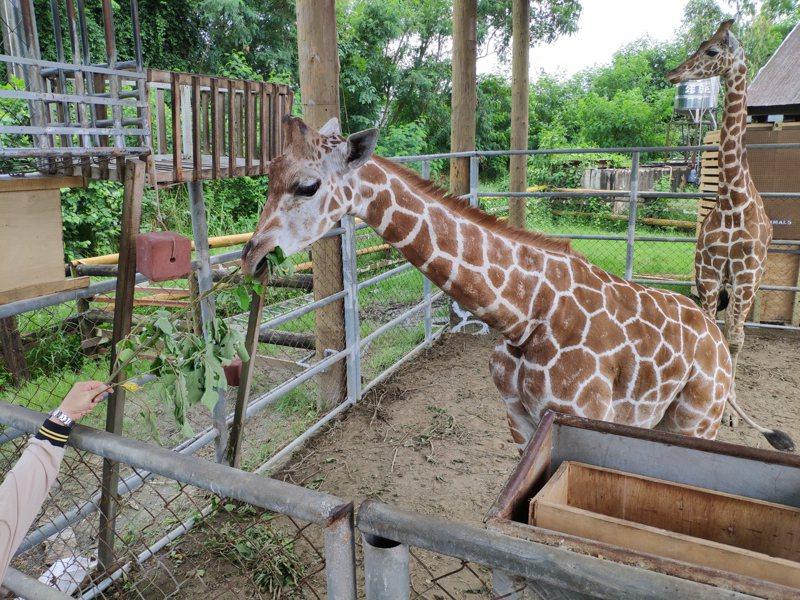 台南市學甲頑皮世界野生動物園,最近從美國引進一對長頸鹿,可愛模樣破表。記者謝進盛/攝影