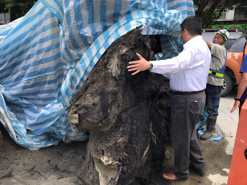 板橋區忠孝國中上周進行校舍改建及地下停車場工程,卻在地下10公尺深挖出2棵巨木古...