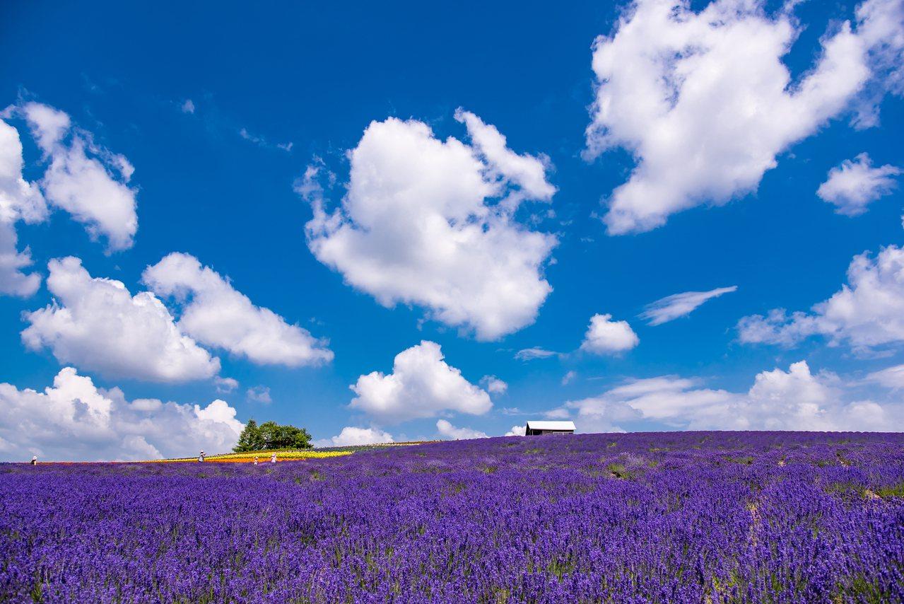 北海道「菅野農場」的薰衣草,花期可一路從6月盛放到10月上旬。圖/樂天旅遊提供