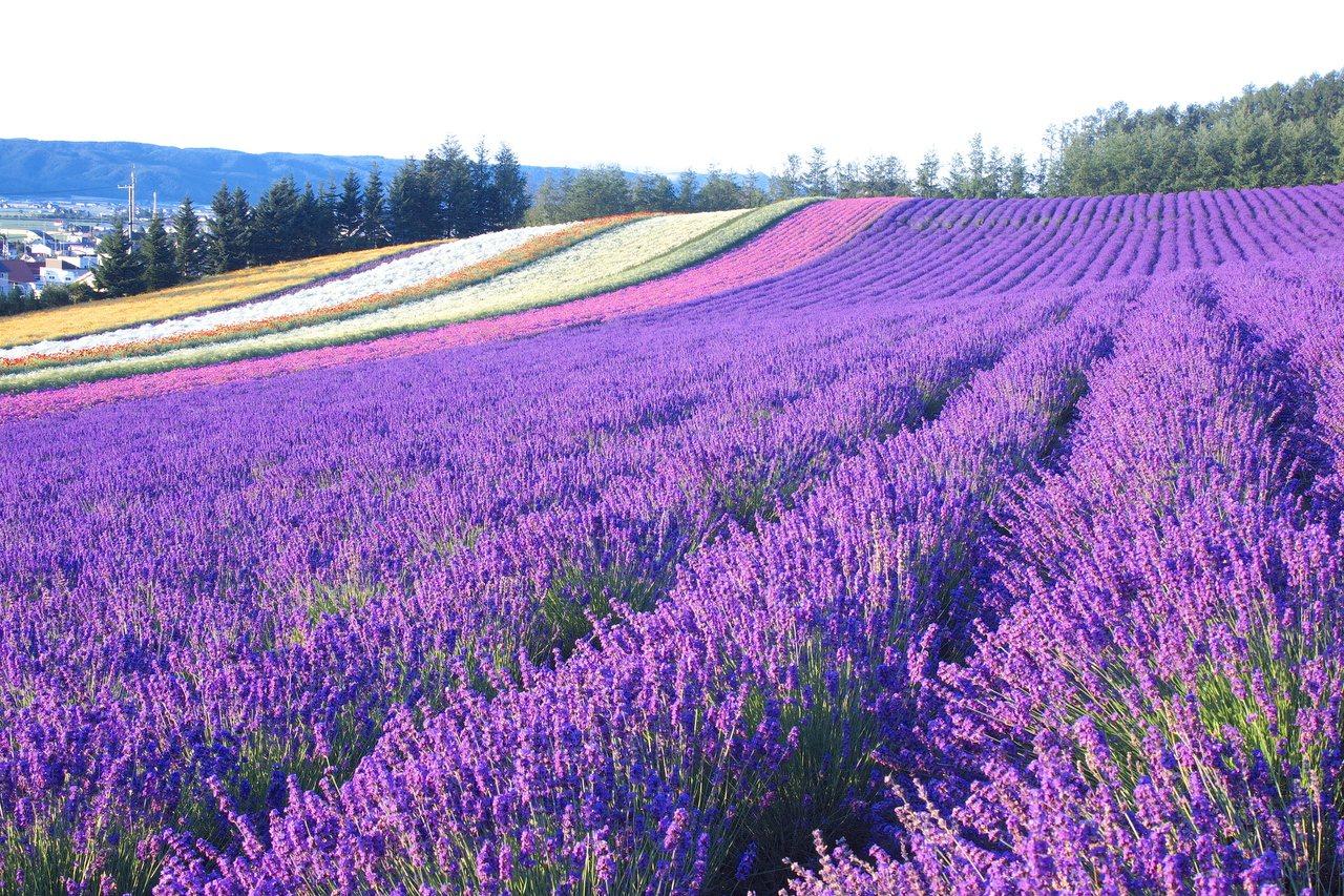 北海道「彩香之里 佐佐木農場」的最佳觀賞期為7月上旬至8月上旬。圖/樂天旅遊提供