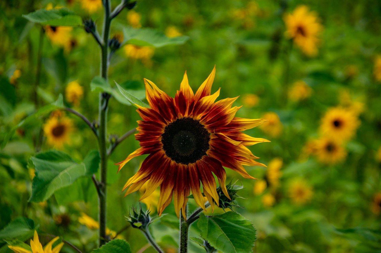 台中福壽山農場的向日葵是特殊品種黑心金剛向日葵,目前正盛開。圖/摘自台中福壽山農...