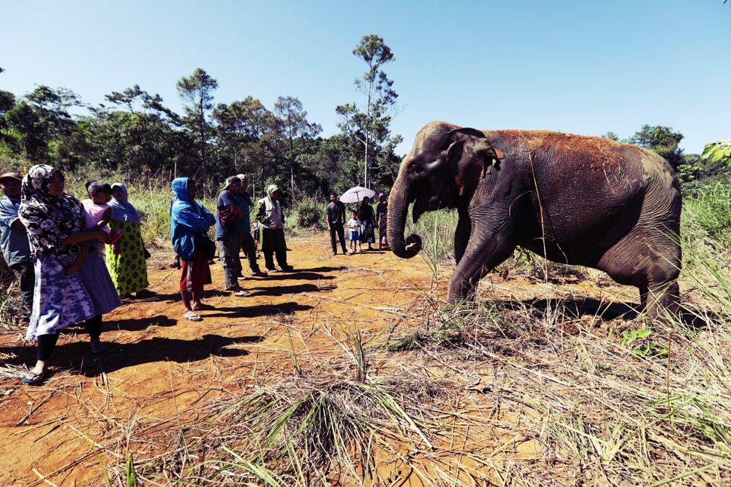 蘇門答臘野生象種只剩不到1,700隻,人象衝突也越來越白熱化。圖為亞齊地方村民,...