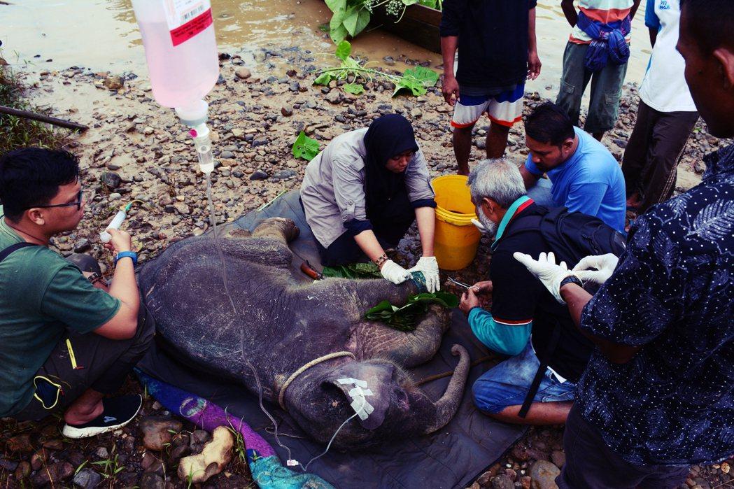 今年6月在亞齊,才發生一隻只有1歲大的小象,被森林中的鐵網陷阱纏住,結果受傷嚴重...