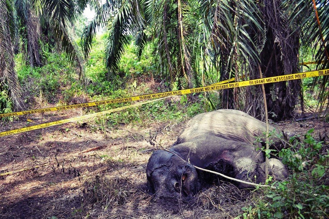 除了棲地消失,印尼猖獗的象牙盜獵,也讓蘇門答臘象的總數在過去20年,整整減少了3...