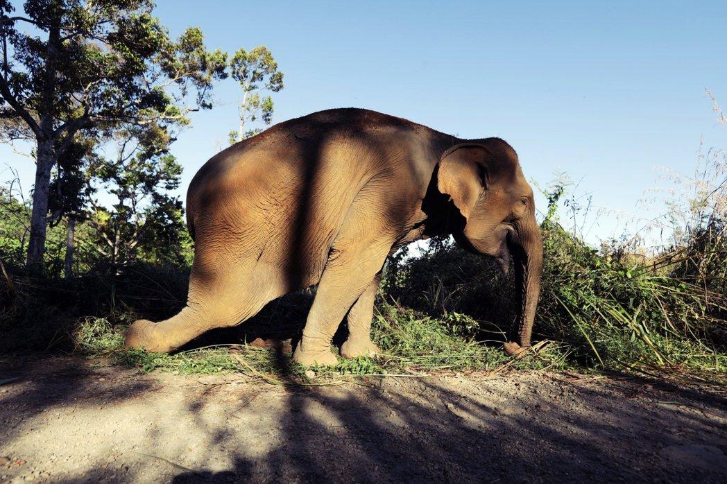 這是大象伊達。而她的經歷故事,見證著人類與自然的矛盾衝突。 圖/歐新社