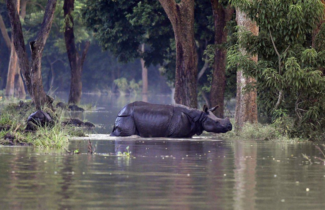 野生動物也與人類一樣遭受水災之害。圖為印度阿薩姆邦森林的印度犀牛。印度犀牛主要分...