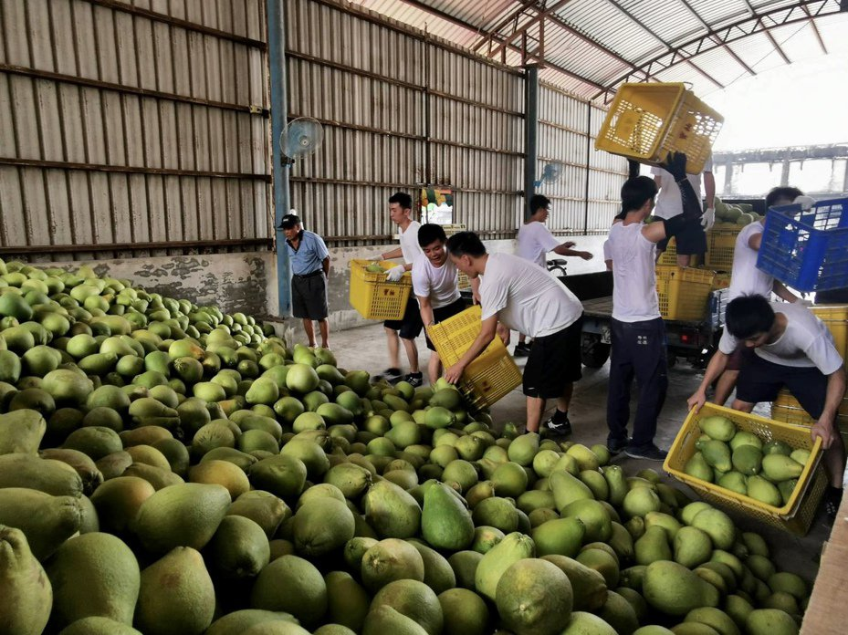 麻豆區農會收購大果麻豆文旦今天展開。記者吳淑玲/攝影