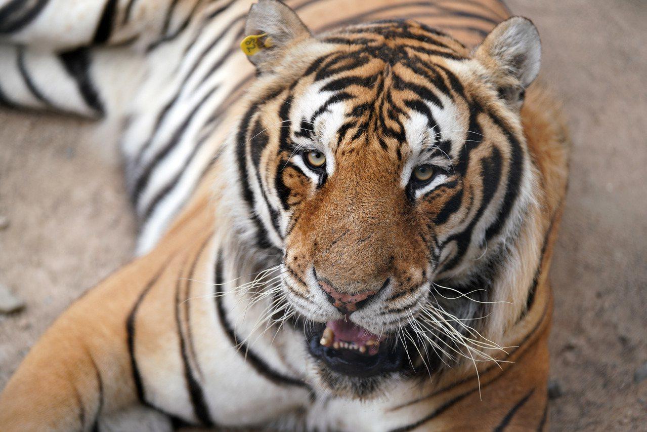 印度今年已有超過60隻老虎死亡或被殺死。新華社