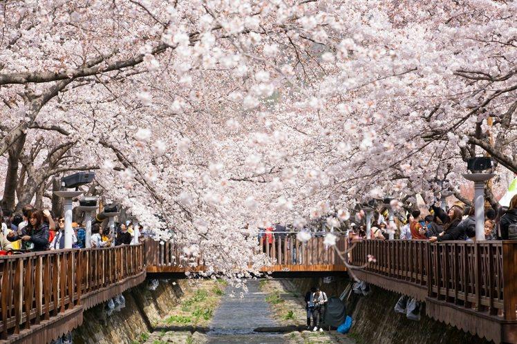 明年郵輪賞櫻將有新航線。圖/雄獅旅遊提供