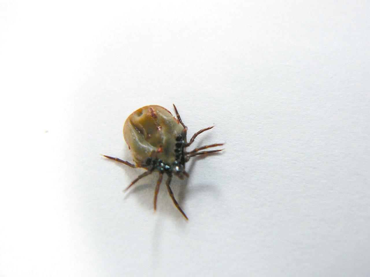 硬蜱的唾液會釋出伯氏疏螺旋體,遭感染的人會漸漸出現發燒、疲勞、頭痛、噁心嘔吐等感...