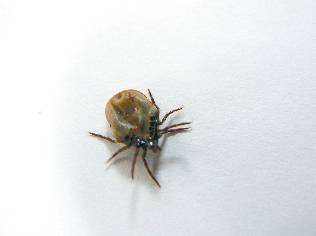 硬蜱硬蜱的唾液會釋出伯氏疏螺旋體,遭感染的人會漸漸出現發燒、疲勞、頭痛、噁心...