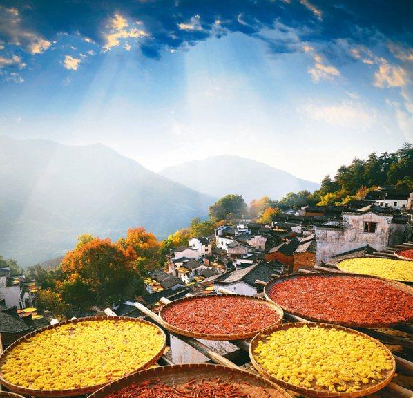 紅艷艷的辣椒,金黃色的皇菊,點亮篁嶺最美秋色。 圖/本報上饒傳真