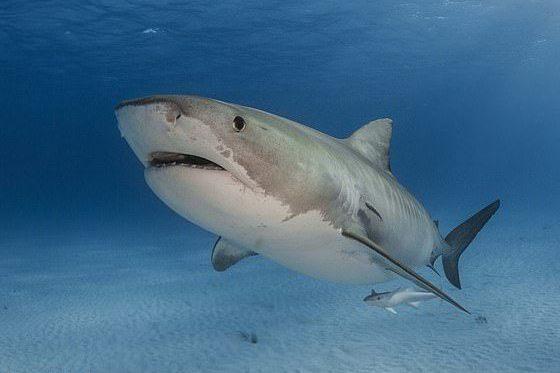 澳洲女子浮潛時遭虎鯊攻擊,被救後雖右腳嚴重受傷但有說有笑,被讚「最勇敢病患」。圖...