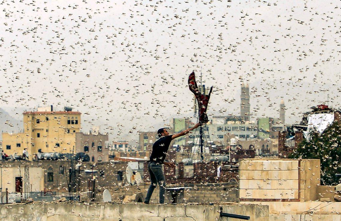 「蝗蟲吃光了我們一切,我們只好吃光蝗蟲。」2019年7月28日,內戰中的葉門首都...