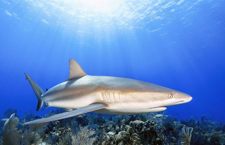 把讓人覺得可怖的鯊魚拍出可親感需要一定的功力。圖/吳永森提供