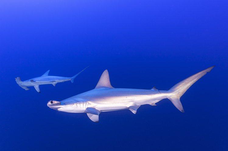 難得一見的雙髻鯊,也是水下攝影師吳永森必拍的目標。圖/吳永森提供
