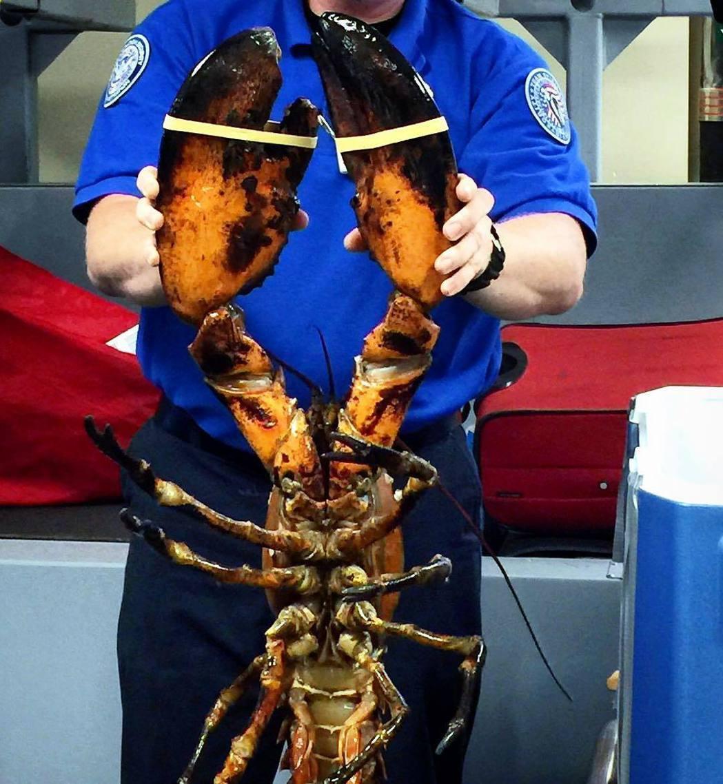 波士頓機場安檢人員查獲乘客攜帶活龍蝦。 圖/取自TSA Instagram網頁