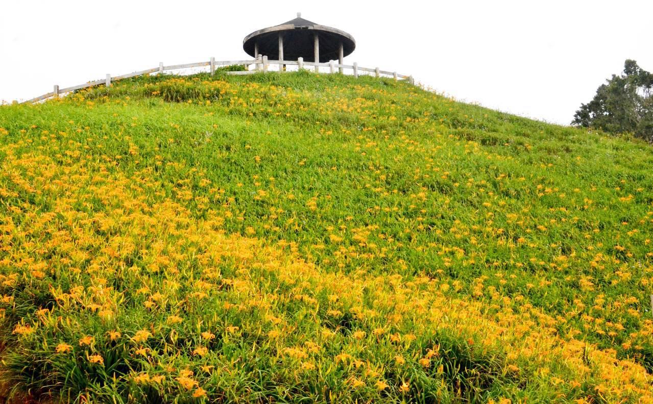 台東縣太麻里鄉金針花季啟動了,目前忘憂谷、雙乳峰、天鶴亭一帶的金針花已開4成至5...