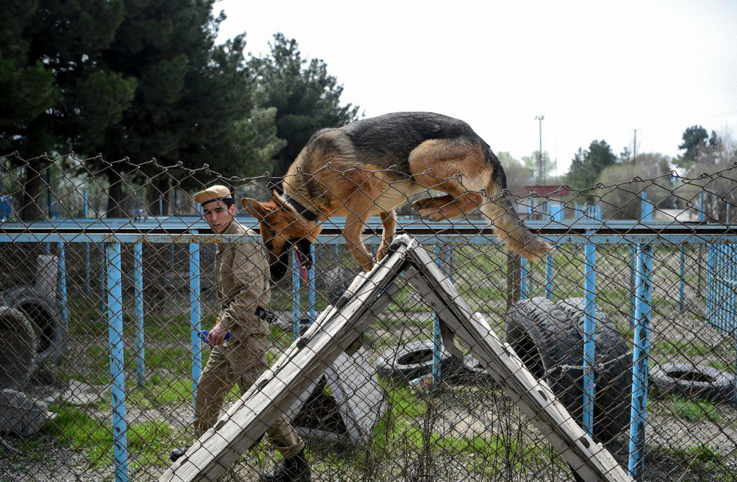 阿富汗地雷偵測中心在喀布爾的訓練場中,三歲的比利時瑪連萊犬娜亞正接受掃雷犬訓練。...