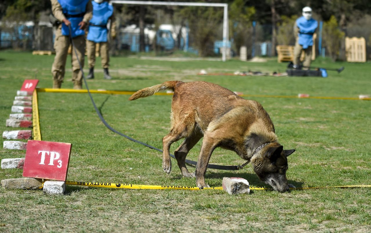 掃雷犬必須接受各種模擬情境演練,學會應變各種情況。 (法新社)