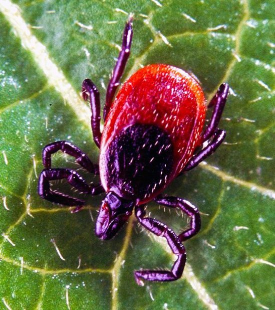 黑腿鹿蜱在美國東部很常見,可帶有造成紐約上州居民喪命的波沃森病毒。(取自推特)
