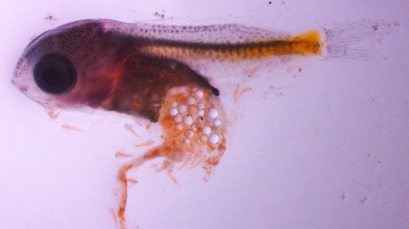 歐洲研究人員2016年發現,塑膠微粒對魚苗有致命吸引力,幼魚大量吃入會造成生長遲緩,變得更容易被掠食者吃掉。Oona Lönnstedt/TT