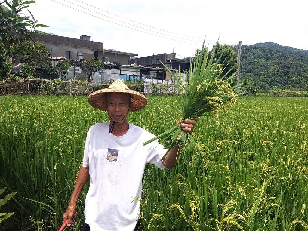 農友朱金萬的稻米收割了。圖/新北市農業局提供