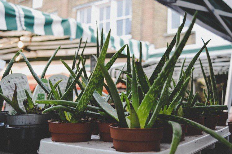 蘆薈是最容易取的的保養品,經濟又實惠。圖/摘自 pexels