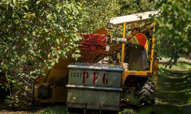 美國「櫻桃之都」正面臨挑戰。圖/美聯社