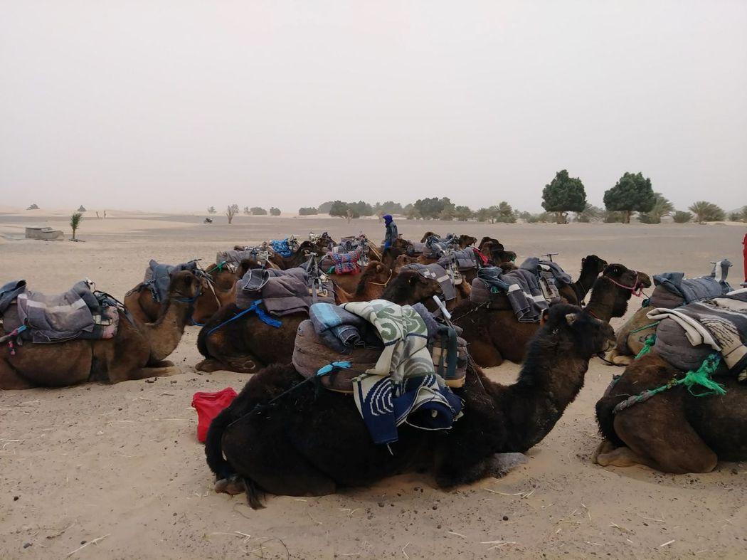 駱駝們都乖乖地坐著,等風暴過去。