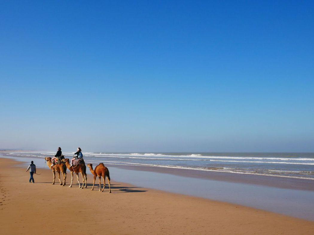 駱駝與人沙灘漫步