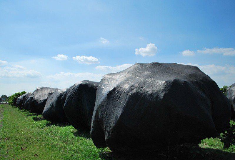 利奇馬颱風侵台機率高,高雄農改場提醒六龜正值催花期的蓮霧要先撤下黑網。圖/高雄區農業改良場提供