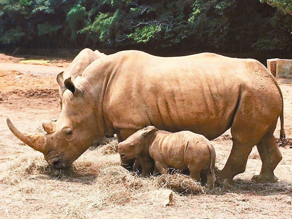 六福村犀牛媽媽「阿珠」生下50公斤重的雄性白犀牛寶寶,不到一個月已長成近百公斤。...