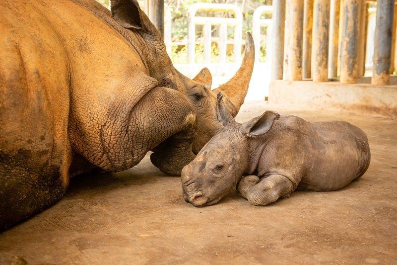 犀牛媽媽阿珠日前生下50公斤重的雄性白犀牛寶寶。 圖/六福村提供