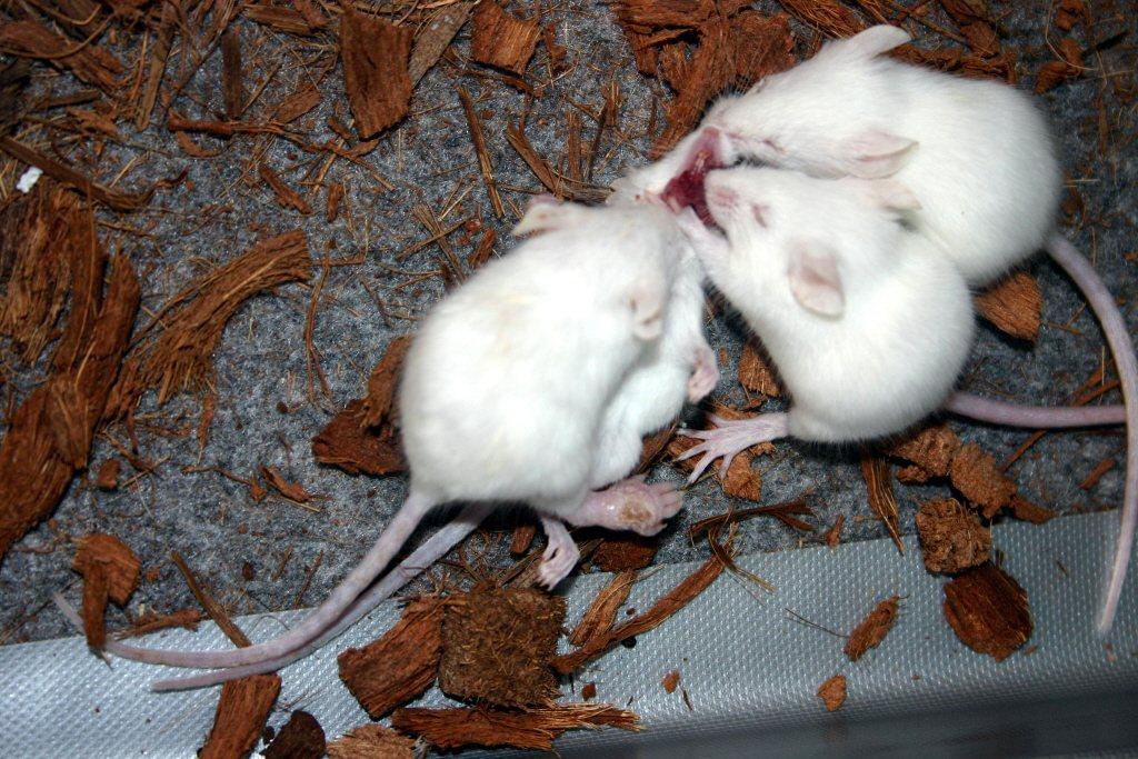 實驗用的白老鼠。報系資料照