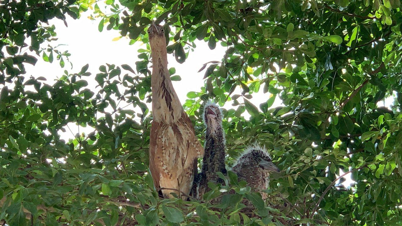 台南市麻豆區公所旁樹上,洽公民眾發現黑冠麻鷺築巢。記者吳淑玲/攝影
