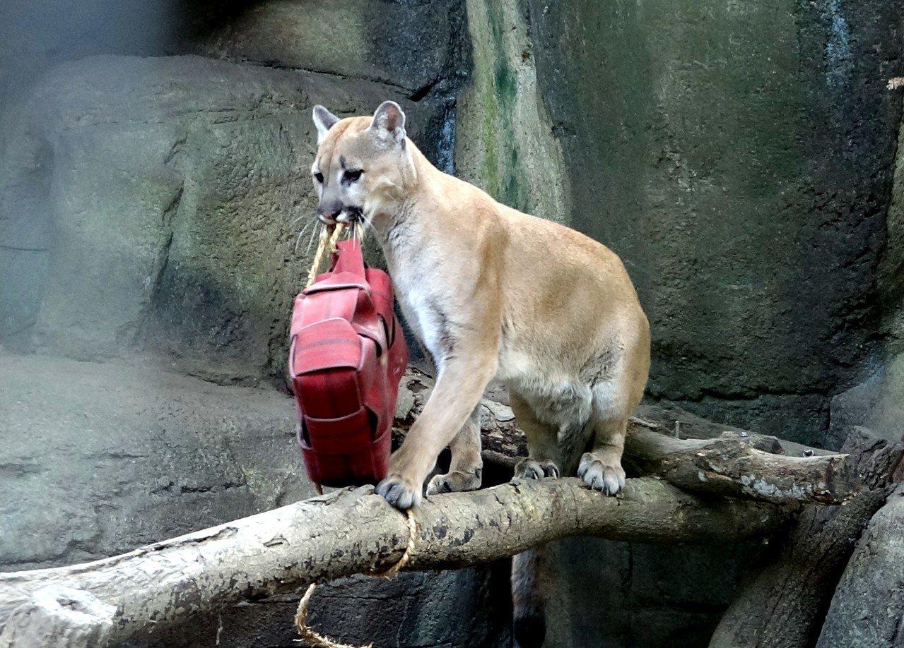 利用消防水帶幫動物製作行為豐富化設施。圖 / 台北市立動物園提供